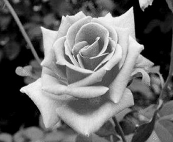 "white rose memorial essay In 1942 hans scholl, a medical student at the university of munich, his sister sophie, christoph probst, willi graf, and alexander schmorell founded the ""white rose"" movement, one of the few."